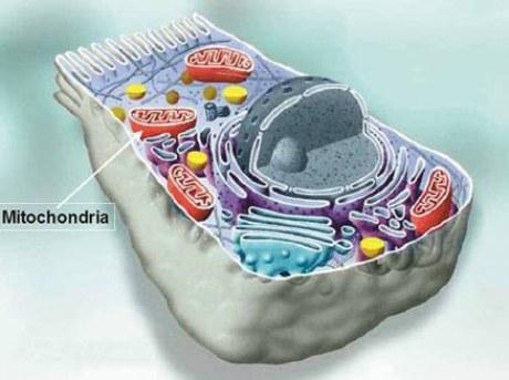 Mitochondrija