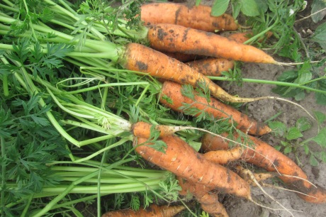 Išrautos morkos