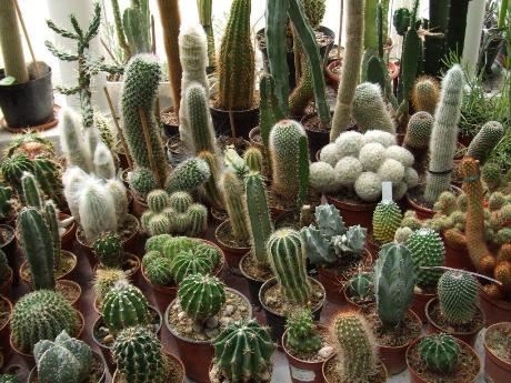 Kaktusai
