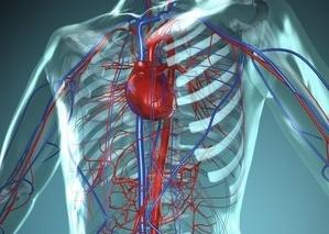 širdies ir kraujagyslių sistema