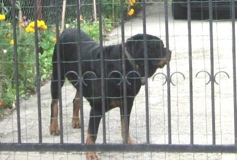 Šuo už vartų