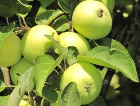 Alyviniai obuoliai