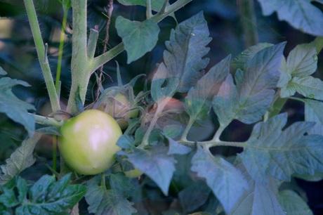 Žali pomidorai