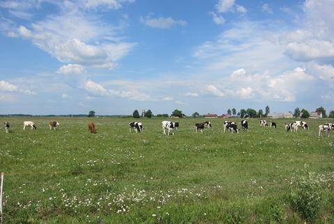 Karvės ganykloje