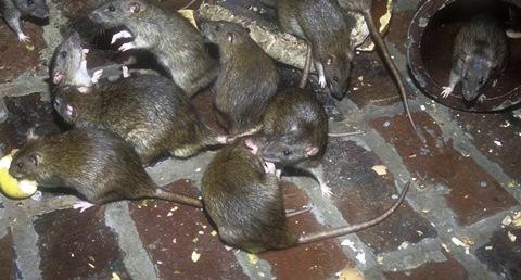 Žiurkės