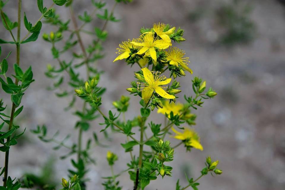 Birželis: prieskoninių augalų pjūtis (2)