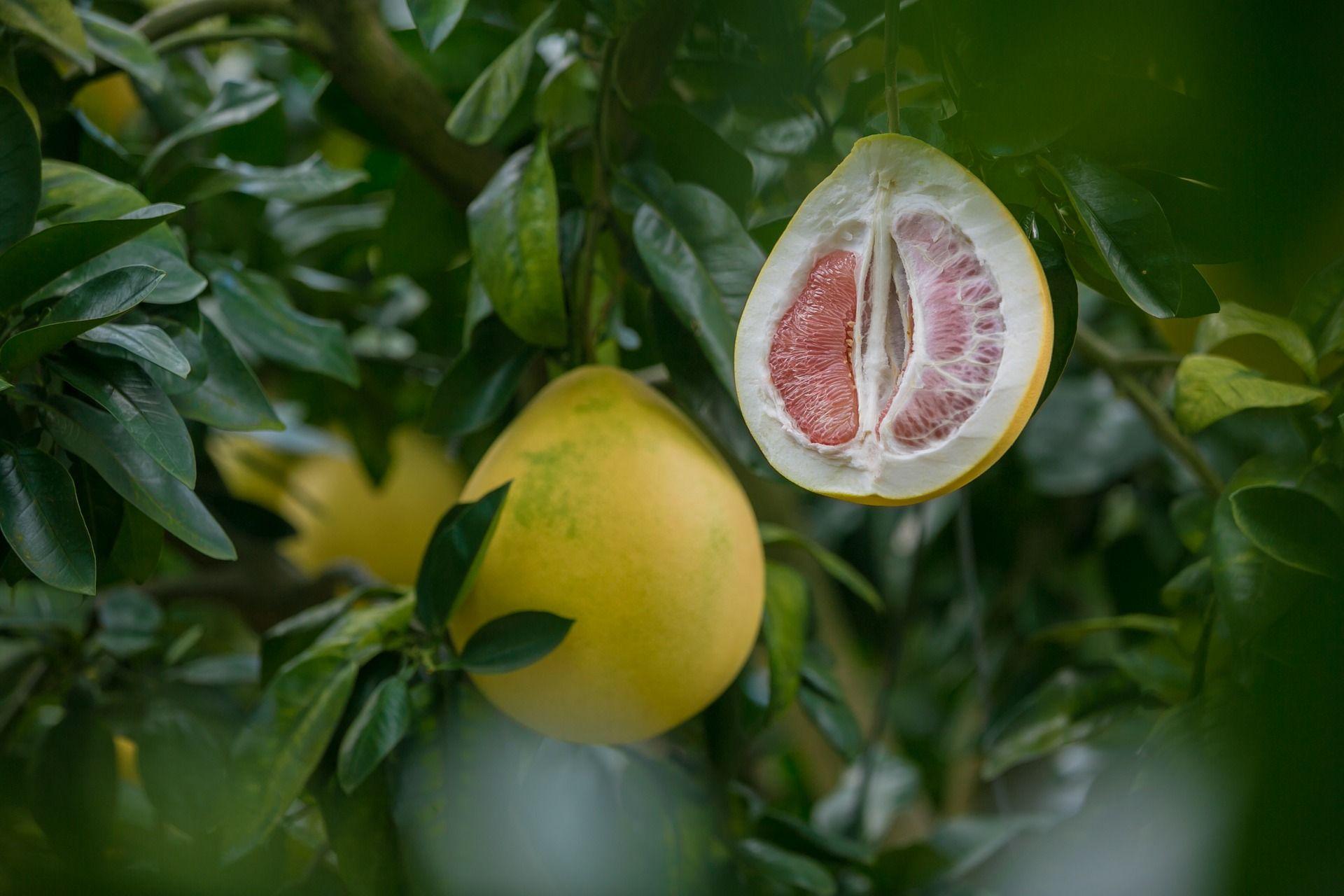 Greipfruto vaisius ant medžio šakos