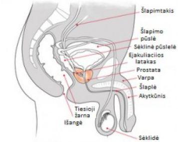 erekcijos prostata)