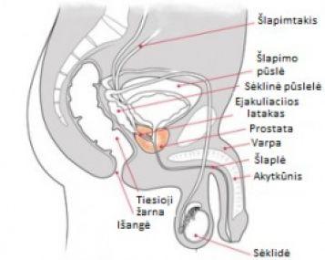 sėklidžių dydžio erekcija