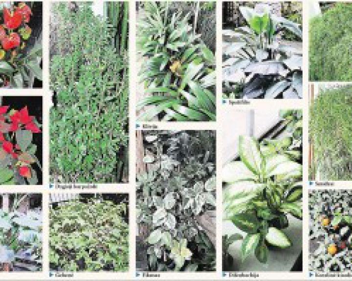 kambariniai augalai nuo hipertenzijos)