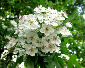 Baltažiedis augalas, gerinantis širdies veiklą - ass.lt