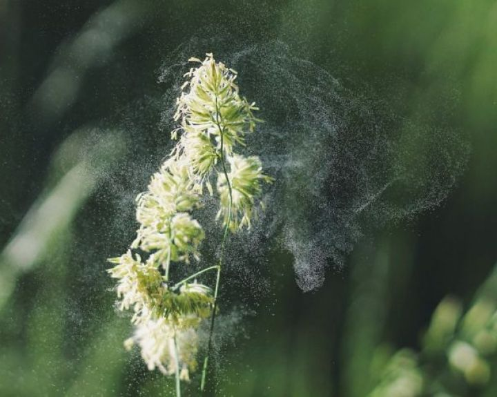 gėlių žiedadulkės nuo hipertenzijos)