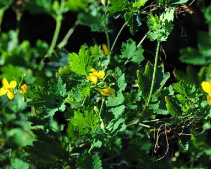 augalų, naudingų hipertenzijai gydyti